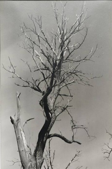 Alfred Stieglitz, Dead Chestnut, Lake George, New York c. 1927, Gelatin silver print (black & white)
